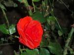 La rose de Gerda