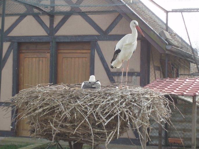 cigognes en Alsace