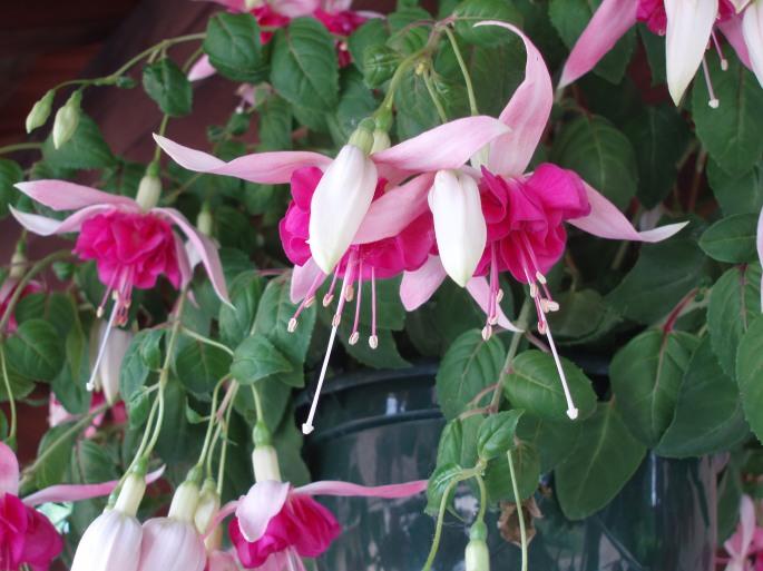 fleurs de juin