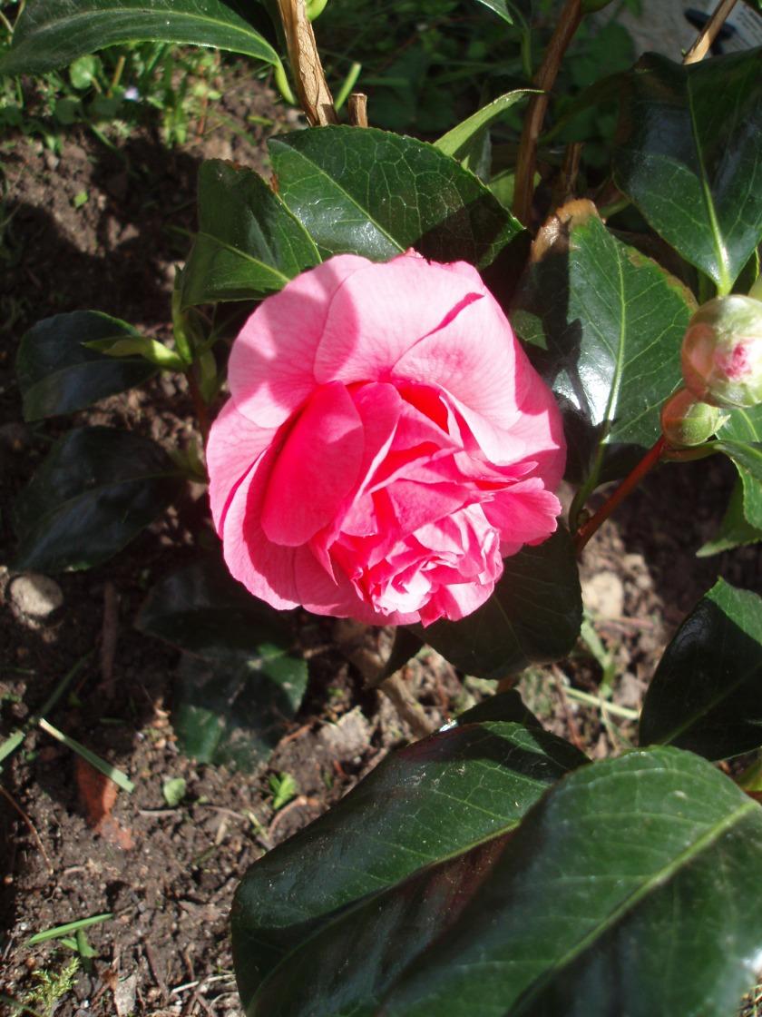 La beauté éphémère d'une rose